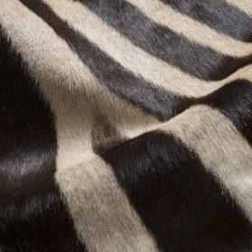 Zebra naturale